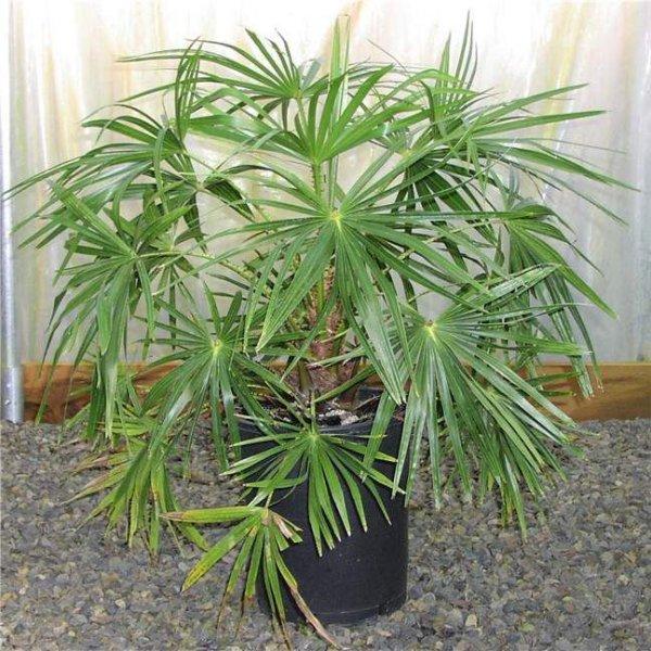 пальмы  и названия