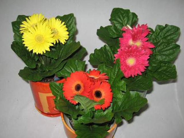 Цветы комнатные фото гербера