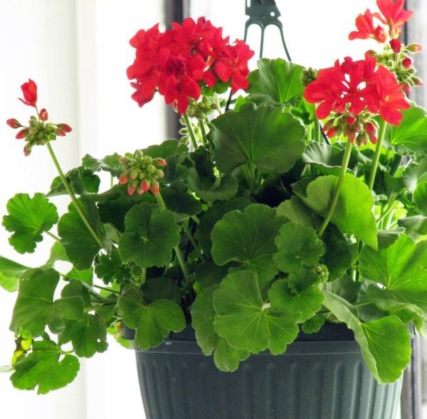 Уход за геранью (пеларгония)- Комнатные растения 54